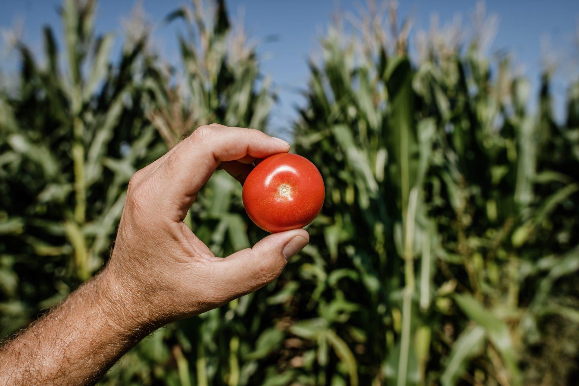 Tomat Ei Mais