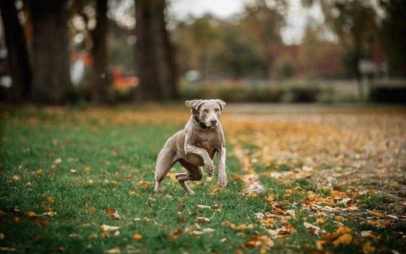 Lotte in action - wie man sieht, ist sie kein Schoßhund, sondern liebt Bewegung. Und zwar mehrmals am Tag. Foto: Andreas Endermann